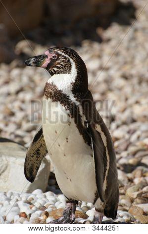 Pigmy  Penguin