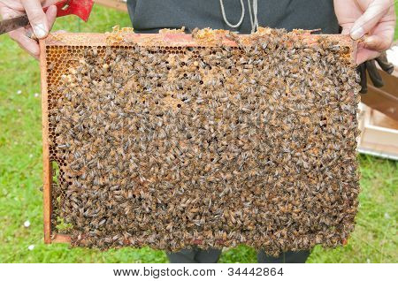 Beekeeper Showing The Top-bar Beehive With A Lot Of Bees