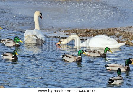 Mallard Ducks And Swans Swimming In The Lake