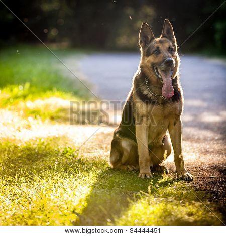 Beautiful German Shepherd Dog (Alsatian) outdoors, in warm evening light