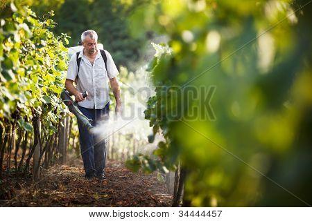 Vintner walking in his vineyard spraying chemicals on his vines