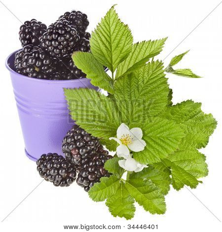 Tasty blackberry dewberry berries with flower bloom in a color bucket isolated on white background