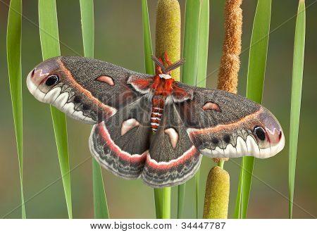 Cecropia Moth On Cattails