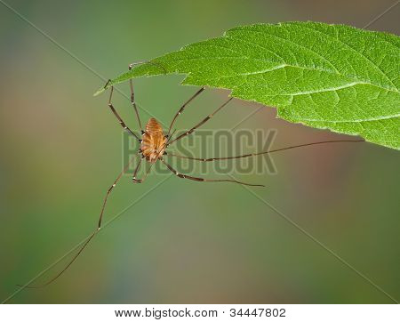 Daddy Long Legs Hanging From Leaf
