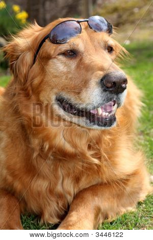Golden Retriever With Shades