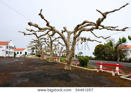 Plane Trees With Horizontally Formed The Crown Of The Tree