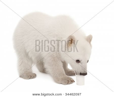 Polar bear cub, Ursus maritimus, 6 months old, feeding from cup against white background