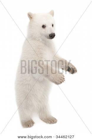 Polar bear cub, Ursus maritimus, 6 months old, portrait against white background