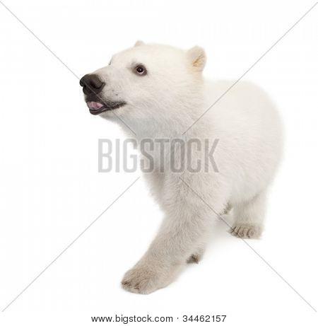 Polar bear cub, Ursus maritimus, 6 months old, against white background