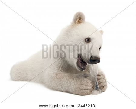 Polar bear cub, Ursus maritimus, 6 months old, with chew toy against white background against white background