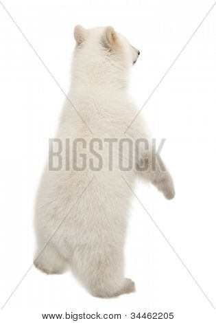 Polar bear cub, Ursus maritimus, 6 months old, standing on hind legs against white background