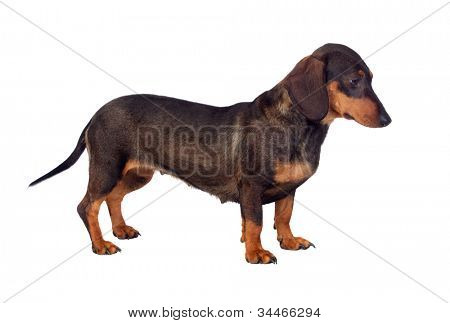 Funny dog teckel isolated on white background