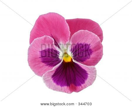 Design Elements: Pink Pansy