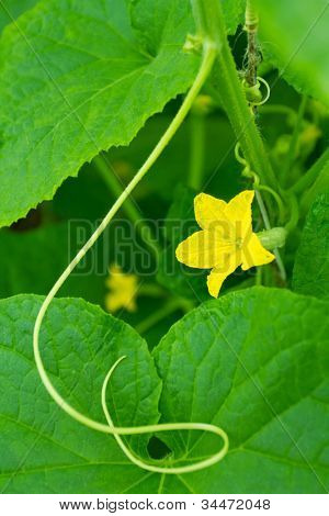Yellow cucumber flower on green leaves background