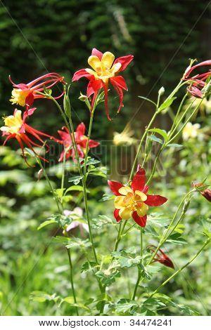 Aquilegia caerulea flowers in garden