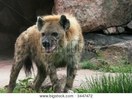 Drooling Hyena