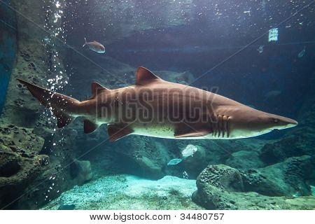 Hai Unterwasser in natürlichen aquarium