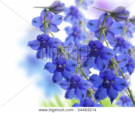 Blue Delphinium Flowers ,Close Up