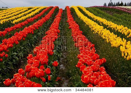 Red Yellow Tulip Hills Flowers Skagit Valley Washington State