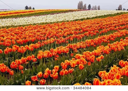 Red Orange White Yellow Tulips Flowers Field Skagit Valley Washington State