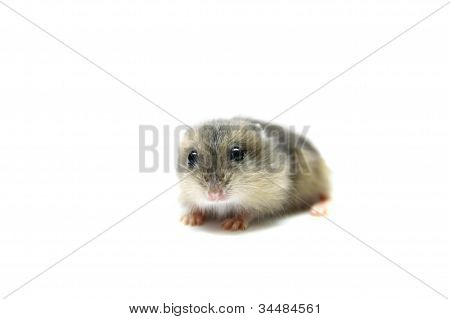 Djungarian Hamster baby isolated on white
