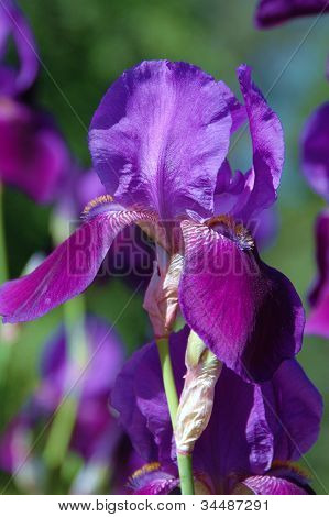 Deep Purple Iris
