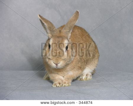 Senior Rabbit On Grey