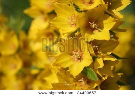 Flowering yellow loosestrife - Lysimachia punctata