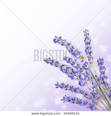 Fresh lavender flowers border, little posy of aromatic medicinal herb, fresh plant of purple flower, spa aromatherapy, organic floral branch isolated on white background