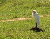 foto of fluffing  - Cattle Egret standing in the sun with down all fluffed up against a background of green grass - JPG