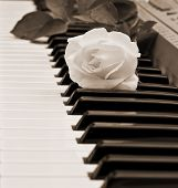 picture of single white rose  - beautiful white rose on piano keyboard in sepia - JPG