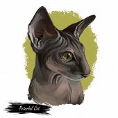 Peterbald Cat Breed Isolated Domestic Animal. Digital Art Illustration Of Pet Portrait, Oriental Sho poster