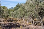 Young Olive Trees In A Grove Near Barrydale poster