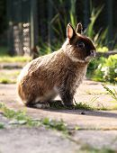 picture of dwarf rabbit  - Netherlands Dwarf Rabbit outside in daylight looking startled - JPG