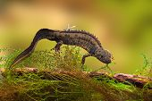great crested newt or water dragon in fresh water pond endangered and protected species. Nature cons