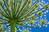 stock photo of gentle giant  - Giant inflorescence of Hogweed plant against blue sky - JPG