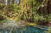 Silver Tree Ferns Reflecting In Pond In Temperate Rainforest In New Zealand poster