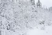 Winter Fary Forest Snowy Taiga Hills Beautiful Beautiful Nature Of Russia. Taiga Forest In Winter. F poster