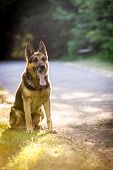 picture of alsatian  - Beautiful German Shepherd Dog  - JPG