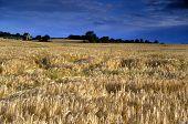 Rye Field Under A Deep Blue Cloudy Sky poster