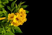 Bush Of Yellow Elder, Trumpetbush Or Trumpet Flower On The Branch Isolated On Black poster