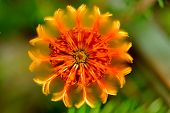 picture of fire ant  - vibrant orange Banksia ericifolia flower in top view