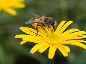 Hover Fly On A Yellow Flower In Summer poster