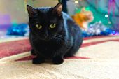 Black Domestic Cat On The Background Of A Christmas Tree. Portrait Of A Domestic Black Cat. poster