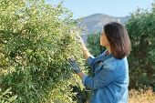 Woman In An Olive Grove, Autumn Sunny Day In Mountain Mediterranean Landscape, Unripe Olive Crop poster