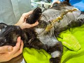 Taking Care And Disinfecting The Incision Wound After A Mastectomy Surgery In A Cat. Pet Care Examin poster