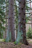 Big Trunk Of Spruce Tree In A Coniferous Forest. Dry Branches On The Trunk Of A Coniferous Tree. poster
