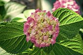 Blossoming Season. Hydrangea Blossom On Sunny Day. Flower In Blossom. Delicate Pink Blossom On Natur poster
