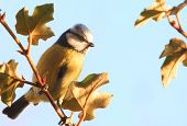 Eurasian Blue Tit (cyanistes Caeruleus)  Bird Resting On A Californian Glory Tree With A Natural Pla poster
