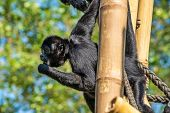 The Black-headed Spider Monkey, Ateles Fusciceps Is A Species Of Spider Monkey poster